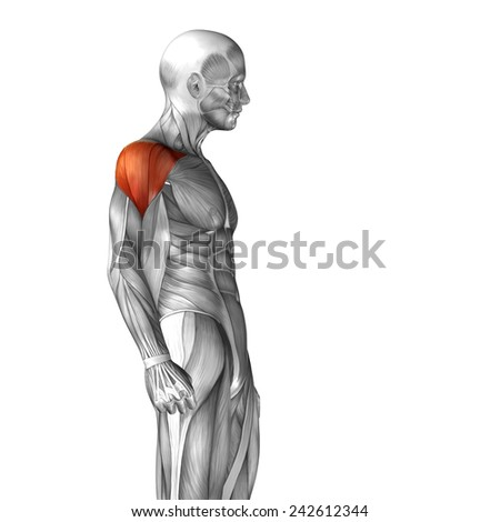 Concept conceptual 3D deltoid human anatomy or anatomical and muscle isolated on white background, metaphor to body, tendon, spine, fit, abs, strong, biological, gym, fitness, skinless, health medical - stock photo