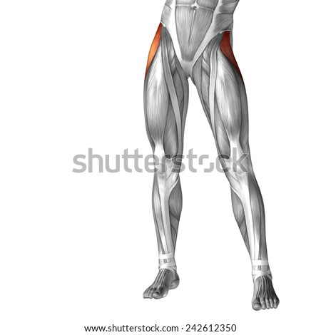 Concept conceptual 3D front upper leg human anatomy or anatomical muscle isolated on white background, metaphor to body, tendon, fit, foot, strong, biological, gym, fitness, skinless, health medical
