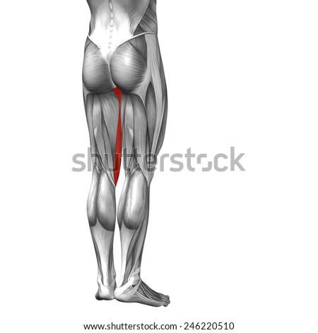 Concept Conceptual 3 D Gracilis Leg Human Stock Illustration ...