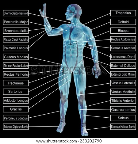 Concept conceptual 3D human anatomy and muscle text on blue gradient background, metaphor to body, tendon, spine, fit, builder, strong, biological, skinless, shape, muscular, posture, health medical - stock photo