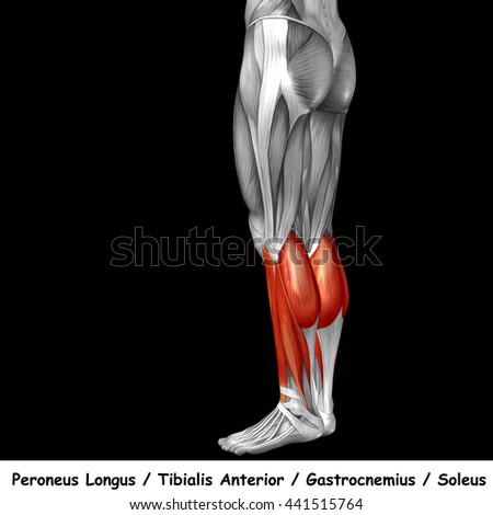 Concept conceptual 3D illustration human lower leg anatomy or anatomical and muscle isolated on black background metaphor to body, tendon, fit, foot, strong, biological, gym, fitness, health medical - stock photo