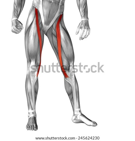 Concept conceptual 3D sartorius, leg human anatomy or anatomical muscle isolated on white background, metaphor to body, tendon, fit, foot, strong, biological, gym, fitness, skinless, health medical - stock photo