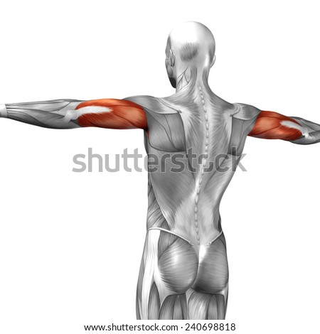 Concept conceptual 3D triceps human anatomy or anatomical and muscle isolated on white background, metaphor to body, tendon, spine, fit, abs, strong, biological, gym, fitness, skinless, health medical - stock photo