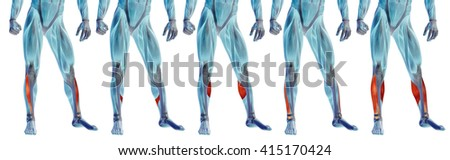 Concept 3D human lower leg anatomy or anatomical and muscle set collection isolated on white background metaphor to body, tendon, fit, foot, strong, biological, gym, fitness, skinless, health medical