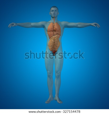 Concept 3D human man structure with internal organs,digestive,lungs and circulatory system on blue background for anatomy, medical, body, stomach, medicine, heart, biology, internal, lungs care digest - stock photo