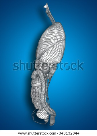 Concept or conceptual anatomical human man, 3D wireframe mesh digestive system on blue background for anatomy, medical, body, stomach, medicine, heart, biology, internal, care or digest - stock photo