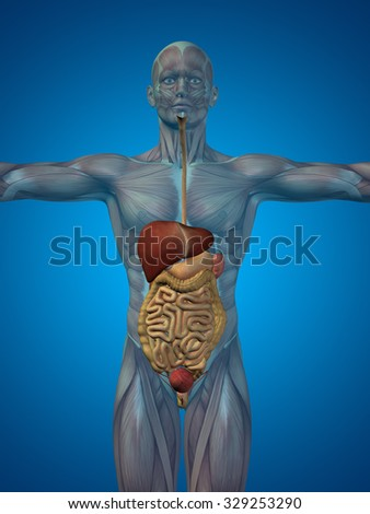 Concept or conceptual anatomical human or man 3D digestive system on blue background metaphor to anatomy, medical, body, stomach, medicine, heart, biology, internal, lungs care or digest - stock photo