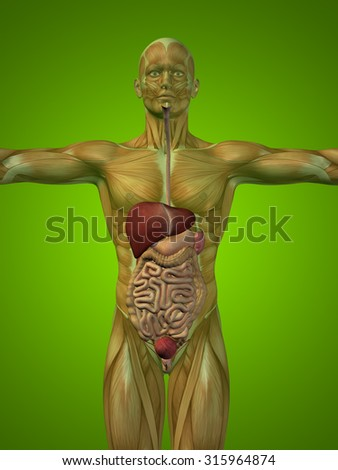 Concept or conceptual anatomical human or man 3D digestive system on green background metaphor to anatomy, medical, colon, liver, body, stomach, medicine, intestine, biology, internal digest - stock photo