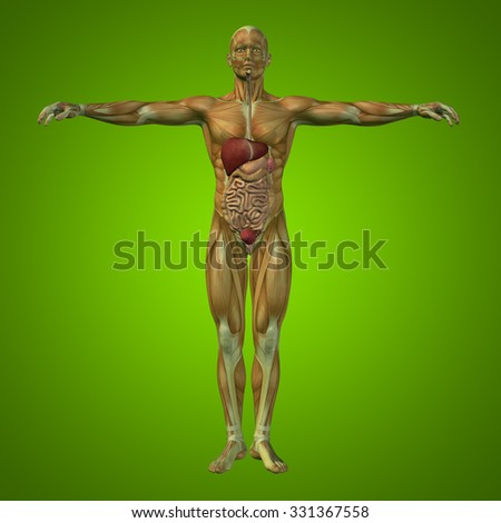 Concept or conceptual anatomical human or man 3D digestive system on green background metaphor to anatomy, medical, body, stomach, medicine, heart, biology, internal, lungs care or digest - stock photo