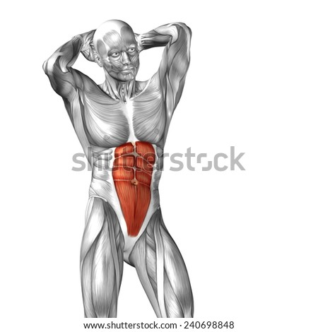 Concept or conceptual 3D abdomen or chest human anatomy or anatomical and muscle isolated on white background - stock photo