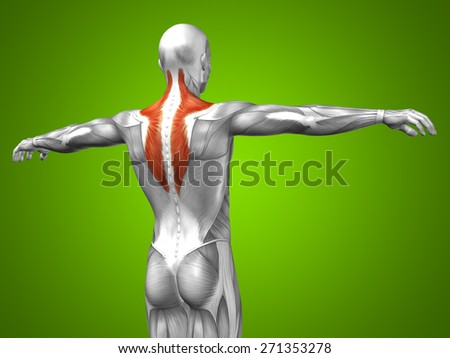 Concept or conceptual 3D back human anatomy or anatomical and muscle on green gradient background metaphor to body, tendon, spine, fit, abs, strong, biological, gym, fitness, skinless, health medical - stock photo