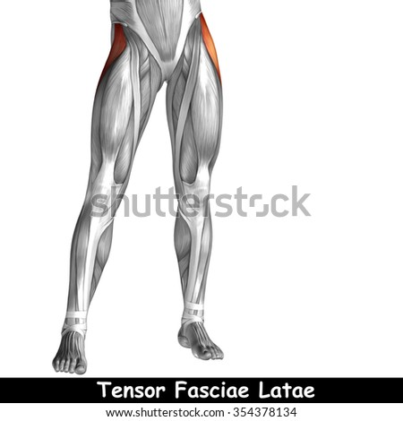 Concept or conceptual 3D human upper leg anatomy or anatomical and muscle isolated on white background metaphor to body, tendon, fit, foot, strong, biological, gym, fitness, skinless, health medical