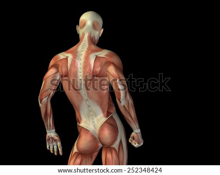 muscular structure stock photos, royalty-free images & vectors, Muscles