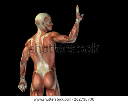 3d model muscles female torso study stock illustration 141571618, Muscles