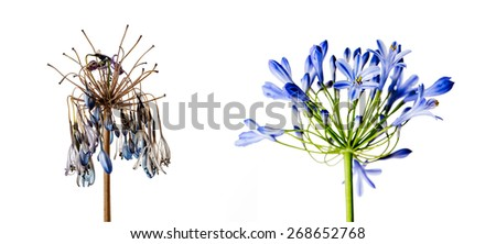 Concept Shot with Fresh and Withered Onion Flower as a Concept of Aging and Decay - stock photo