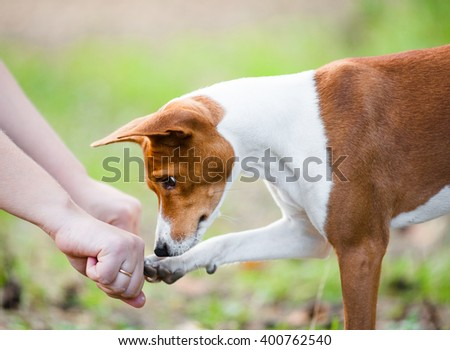 Concept: young basenji dog guesses which hand of owner hides treats - stock photo
