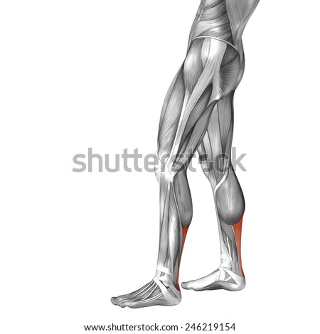 Conceptual 3D achilles tendon, leg human anatomy or anatomical muscle isolated on white background, metaphor to body, tendon, fit, foot, strong, biological, gym, fitness, skinless, health or medical - stock photo