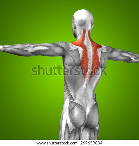Conceptual 3D back human anatomy or anatomical and muscle isolated on green gradient background, metaphor to body, tendon, spine, fit, abs, strong, biological, gym, fitness, skinless, health medical - stock photo