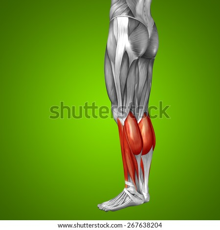 Conceptual 3D gastrocnemius lower leg human anatomy or anatomical muscle on green gradient background metaphor to body, tendon, fit, foot, strong, biological, gym, fitness, skinless, health or medical - stock photo
