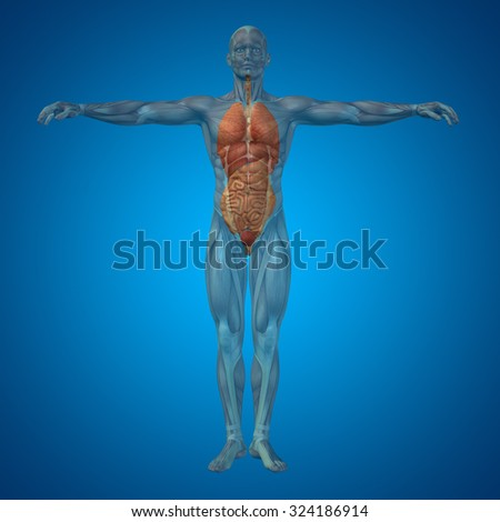 Conceptual 3D human man structure with internal organs,digestive,lungs and circulatory system on blue background for anatomy, medical, body, stomach, medicine, heart biology internal lungs care digest - stock photo