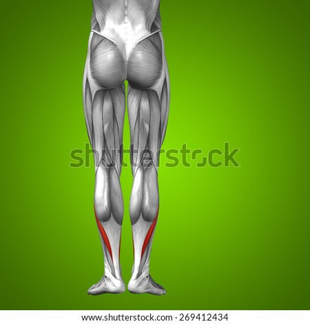 Conceptual 3D lower leg human anatomy or anatomical muscle isolated on green gradient background, metaphor to body, tendon, fit, foot, strong, biological, gym, fitness, skinless, health or medical - stock photo
