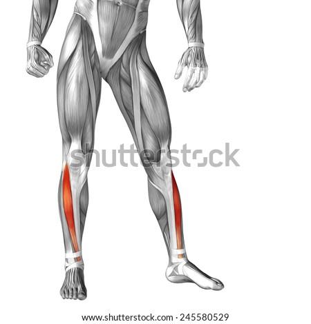 Conceptual 3d Tibialis Anterior Leg Human Stock Illustration