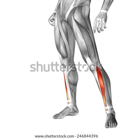 Conceptual 3 D Tibialis Anterior Leg Human Stock Illustration ...