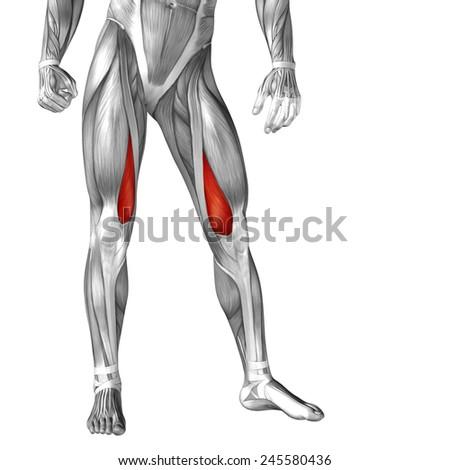 Conceptual 3 D Vastus Medialis Leg Human Stock Illustration ...
