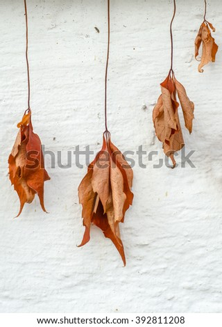 Conceptual Fall Image Of Dry And Withered Dead Leaves Hanging Against A White Wall - stock photo