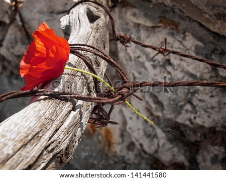 Conceptual image about struggle for freedom, is represented with red poppy flower and rusty barbed wire. - stock photo