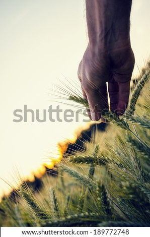 Conceptual image with male hand holding ripening wheat ear in a beautiful wheat field. Concept of modern problematic of genetically modified organisms and its health risks. - stock photo