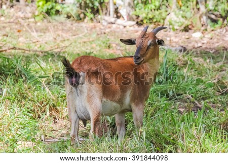 Concerned goat grazing on a lush meadow - stock photo