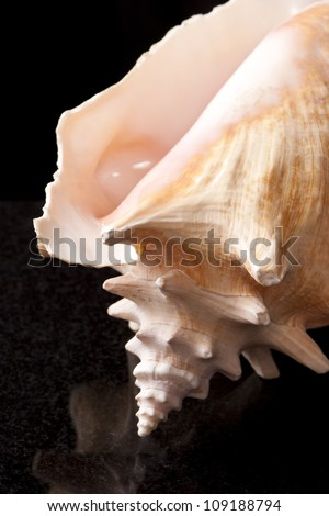 Conch Shell 2 - stock photo