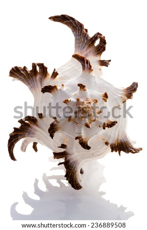 Conch Shell - stock photo