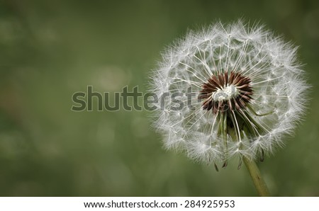 Condolence card with dandelion flower