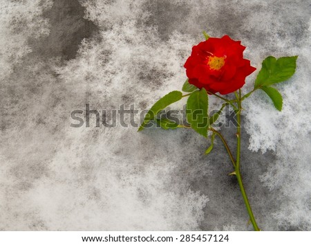 Condolence card with red rose - stock photo
