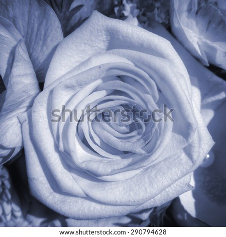 condolences card rose - stock photo