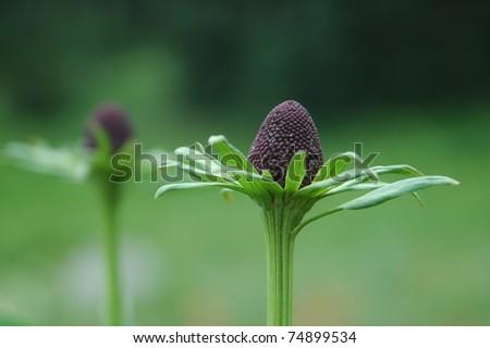 Cone Flower - stock photo