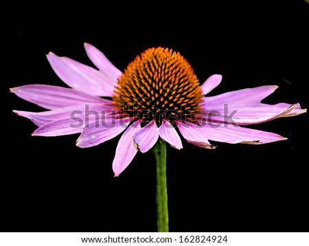 cone flower, Echinacea purpurea - stock photo
