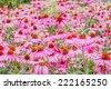 cone flower in field  - stock photo