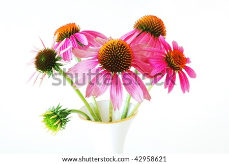 Cone Flowers (Echinacea purpurea) at various stages of development in a gold-rimmed vase. - stock photo
