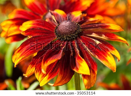 Coneflower, also known as Black-Eyed Susan or Rudbeckia, taken in Capel Manor Gardens located in Enfield, Middlesex