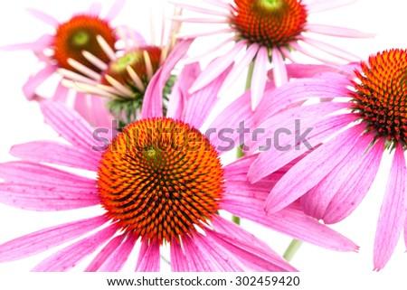 Coneflower (Echinacea purpurea) - flower face - stock photo