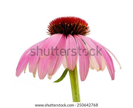 Coneflower  isolated on white background - stock photo