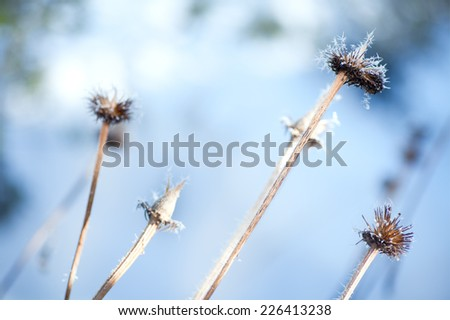 Coneflower stems (Echinacea) withered and covered in hoar frost on a sunny cold winter day. - stock photo