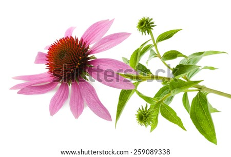 Coneflower wit leaves  isolated on white background - stock photo