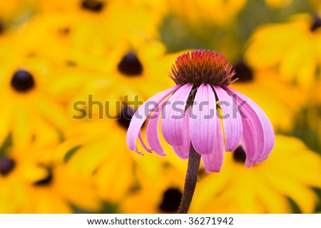 coneflower with black-eyed susan flowers in the background
