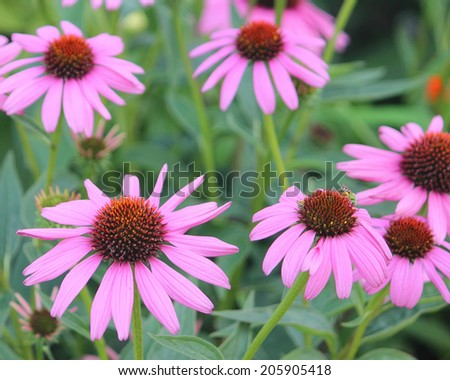 Coneflowers With Bees - stock photo