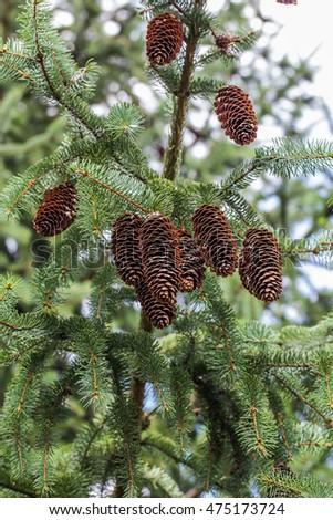 Cones in Spruce Tree
