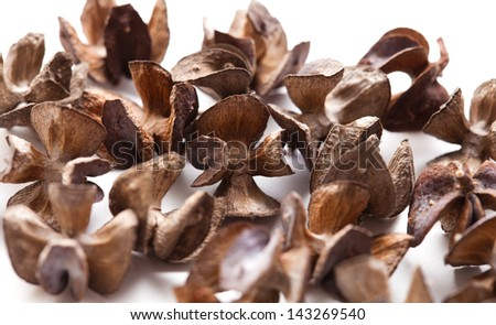 cones of  Platycladus orientalis, isolated on white